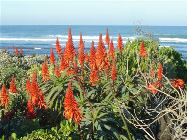 Indigenous aloes
